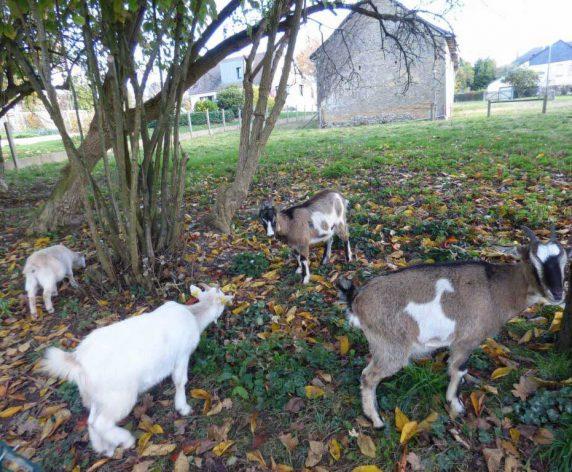 Les chèvres pour l'éco-pâturage à La Chapelle des Fougeretz